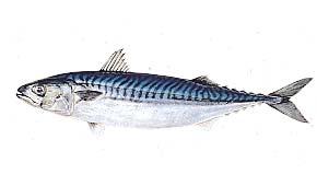「大西洋サバ」の画像検索結果