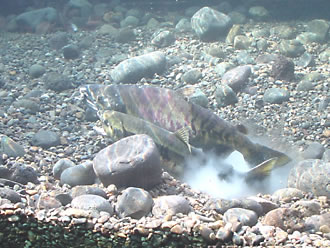 サケの画像 p1_35